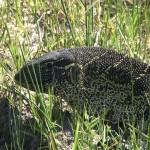 060. Monitor lizard
