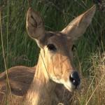 065. common reedbuck