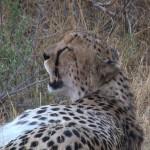 068. cheetah volgegeten