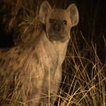 070. hyena op jacht