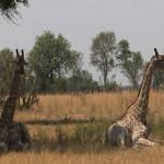 081. rustende giraffen