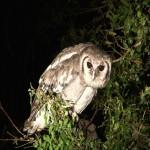 083. Verreaux's eagle owl