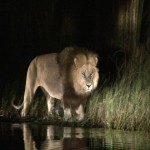091. lions hunt in the water
