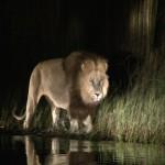 091. leeuwen jagen in water