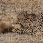 098. springbok jumps no more