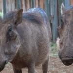 027. warthogs