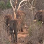034. wild elephants