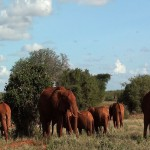 074. red elephants of Tsavo