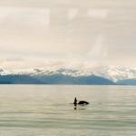 021. killer whale