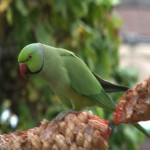 005. rose-ringed parakeet  (dad)