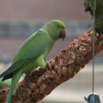 006. rose-ringed parakeet  (mum)