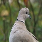 012. collared dove