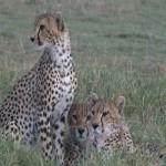 013. cheetah family