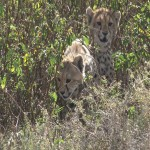 015. cheetah cubs