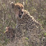 016. cheetah mother with kids