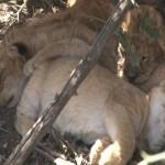 017. lion cubs