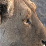 032. worried lioness