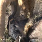 036. pregnant wildebeest killed