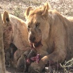 040. lions hate sharing