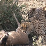 047. cheetah caught wildebeest calf