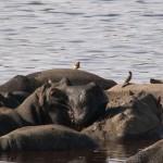 049. Hippo pool