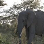 052. elephant bull