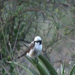 057. White Crowned Shrike