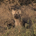 061. young hyena in den