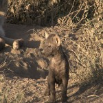 062. new born hyena cub