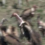 066. vulture war