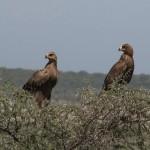 067. Tawny eagles