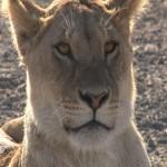 076. lions show no pain