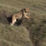 079. lioness takes a leap
