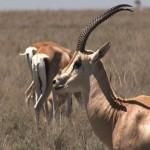 080. Grants gazelle