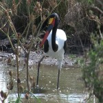 088. Saddle-billed stork