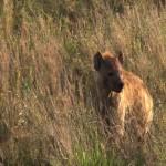 097. hyena hunting