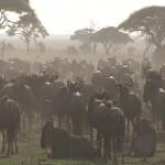 098. wildebeest assemble