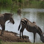 103. zebra's know where
