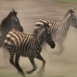 106. zebras at full speed