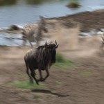 107. wildebeest follow