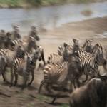 108. herd stampeding