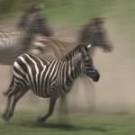 111. zebras go first