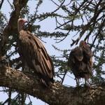 129. vultures wait