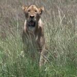 134. lioness in marsh