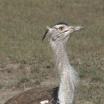 139. Kori bustard heaviest in the world