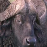 138. Cape buffalo
