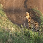 137. Servals are hard find