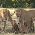 140 . lionesses with playing cubs