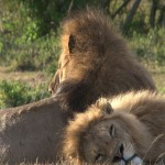 142. lions are brothers