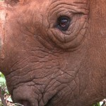 021. totally blind black rhino